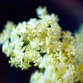 A close up of elderflowers