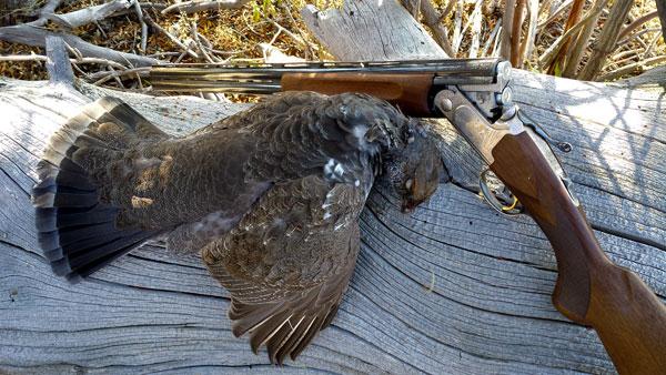 Utah blue grouse