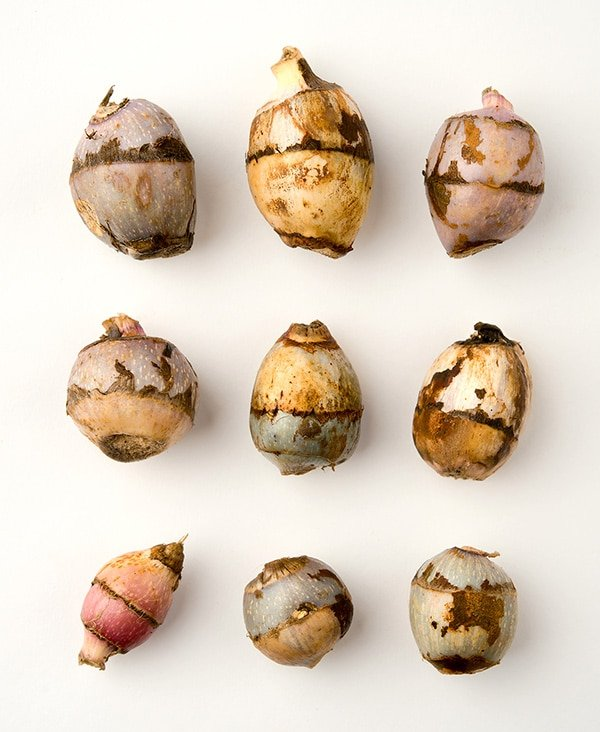wapato tubers arranged on a table