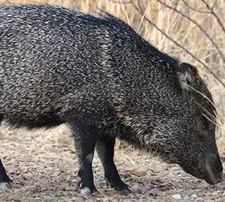 Loving the Unloved: Javelina