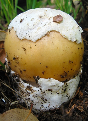 Amanita velosa button