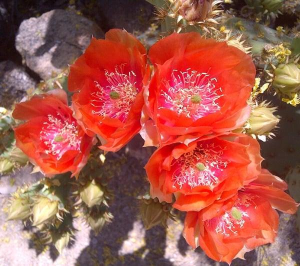 cholla flowers