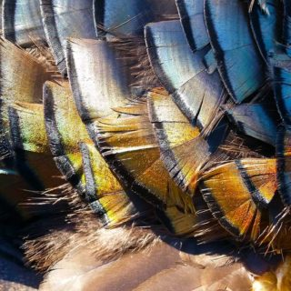 Close up of turkey feathers.