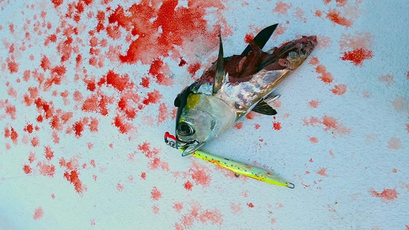 A blackfin tuna, eaten by a shark.
