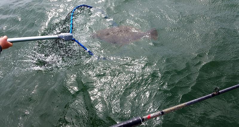 Netting a halibut