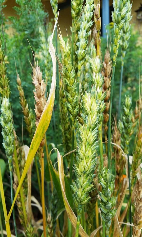 Wheat growing in my yard