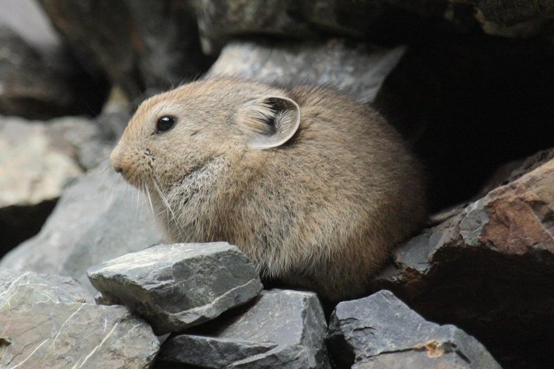 A pika, an adorable relative of the rabbit