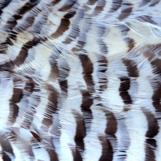prairie chicken feathers