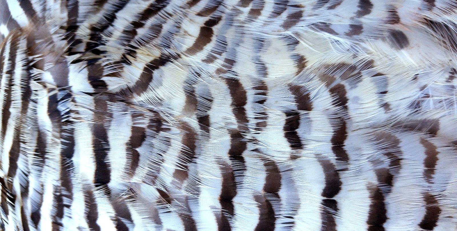 prairie chicken feathers