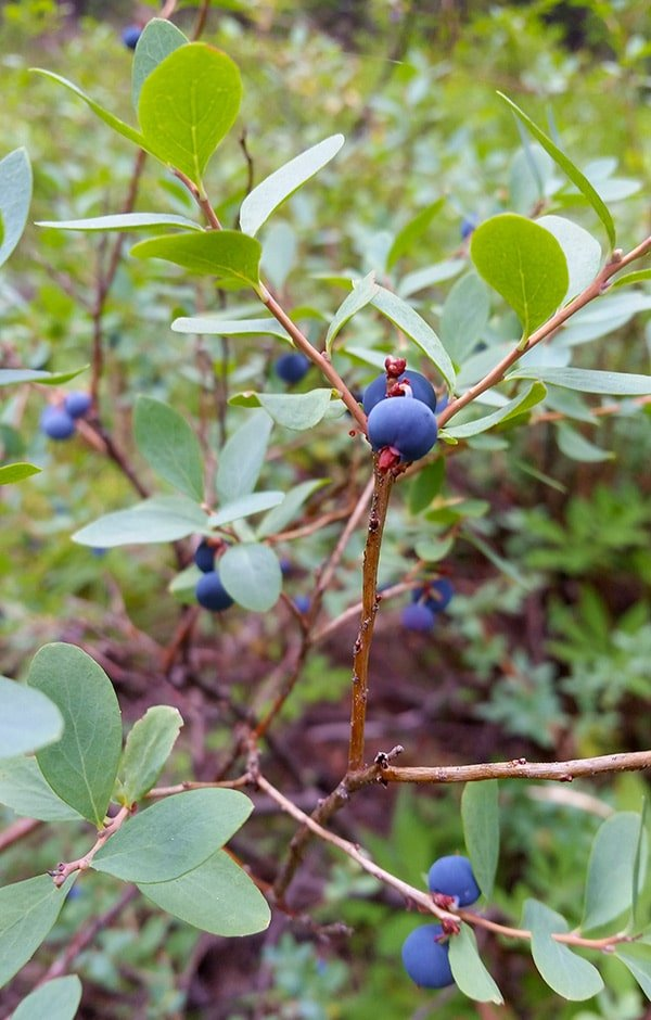 Sierra wild blueberries ready to pick