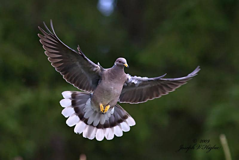 Flying band-tailed pigeon
