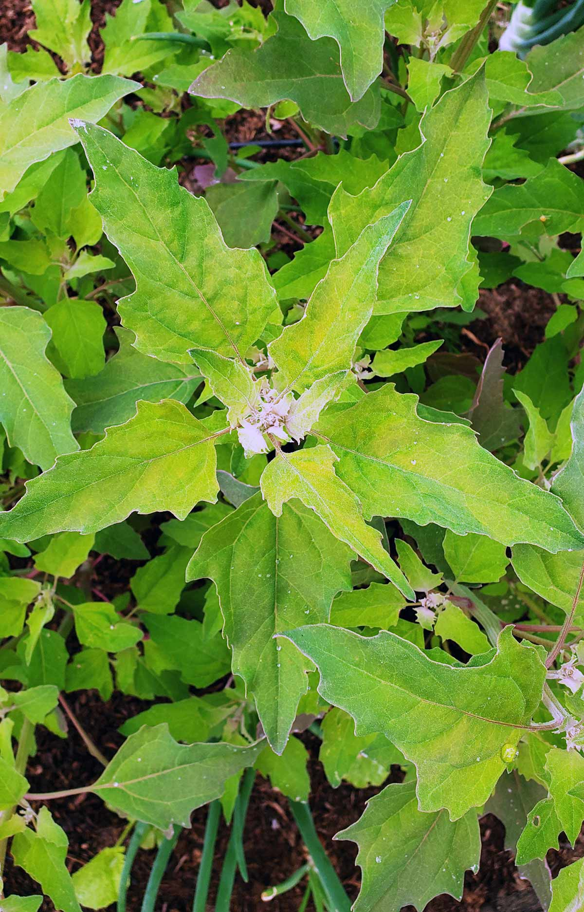 lambsquarters growing in the garden