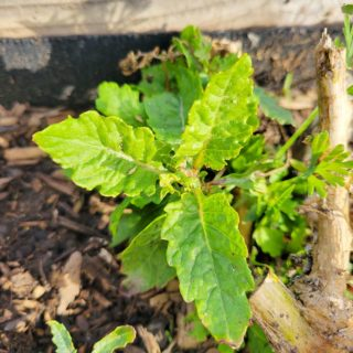 Epazote, starting to grow in late winter