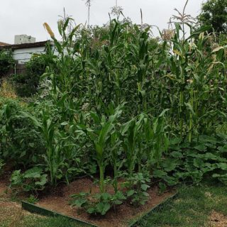 A patch of growing corn, beans and squash.