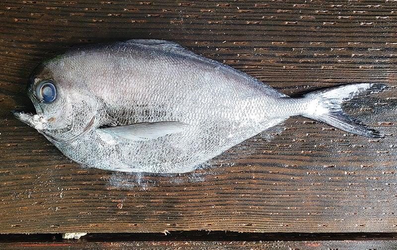 Pacific pomfret uncooked