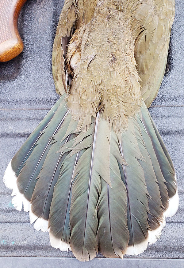 chachalaca tail feathers