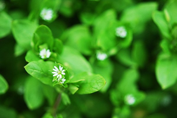 Close up of chickweed.