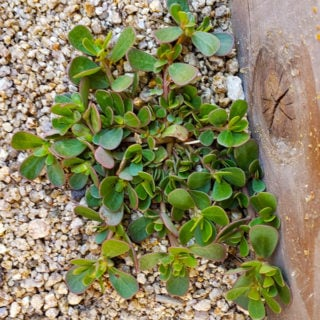Wild purslane growing in my garden.