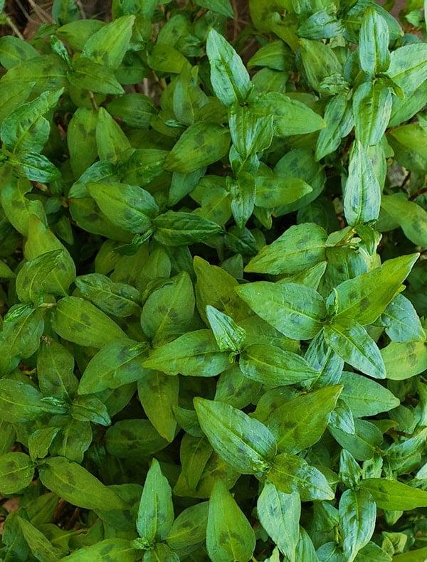 rau ram leaves growing