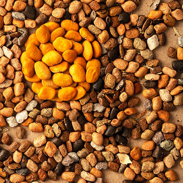 orange tepary beans with wild ones