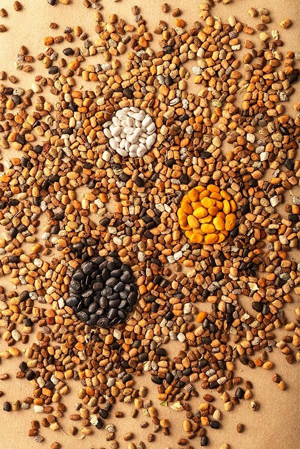 An assortment of wild and domesticated tepary beans