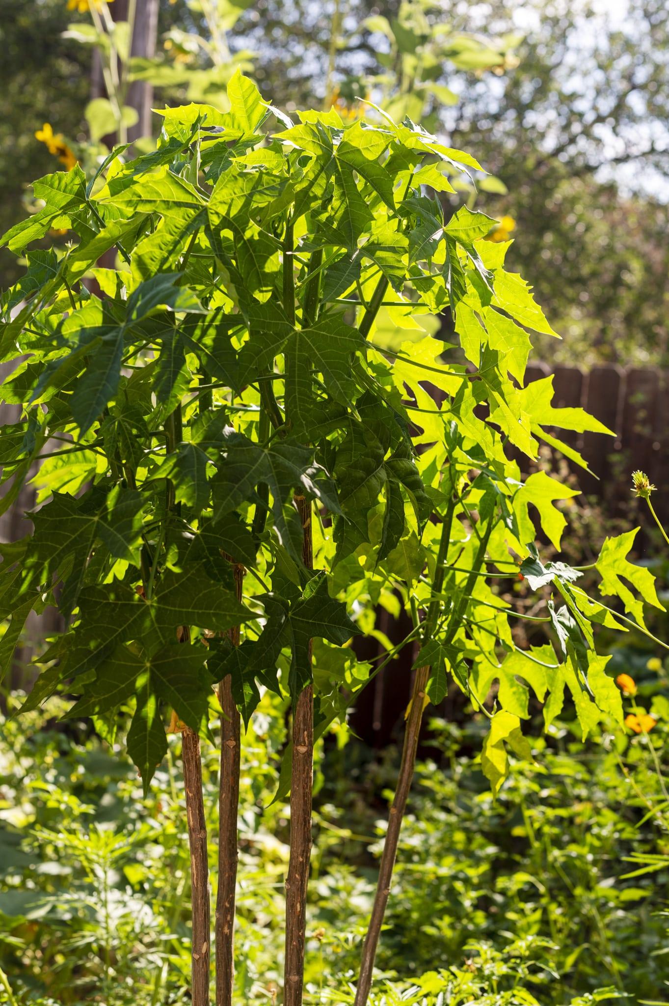 A chaya plant growing in Sacramento